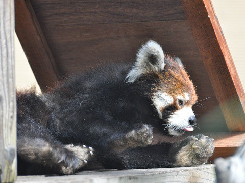 懐かしい写真・・・2016年9月24日 旭山動物園 レッサーパンダ