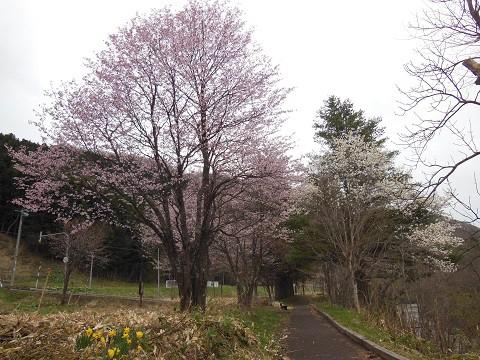 5月5日 滝上町 錦仙峡ではコブシと桜の共演 そして、川は増水中