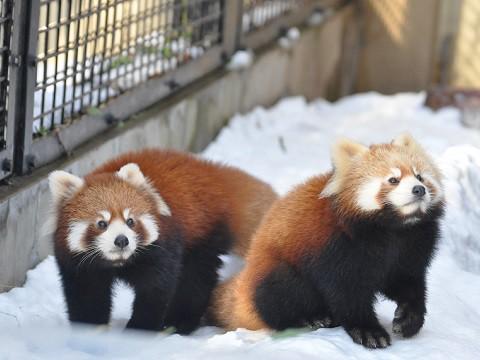 懐かしい写真・・・2016年12月3日 旭山動物園 レッサーパンダ