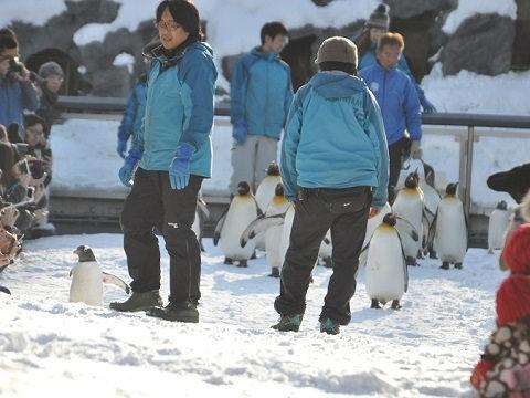 懐かしい写真・・・2016年12月3日 旭山動物園 ペンギンの散歩練習中