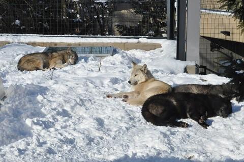 懐かしい写真・・・旭山動物園 シンリンオオカミ一家