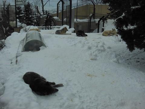 懐かしい写真・・・1月9日 旭山動物園 シンリンオオカミ