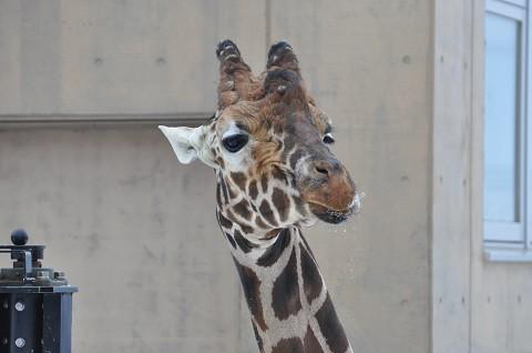 懐かしい写真・・・1月9日 旭山動物園 きりん舎・かば館