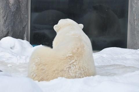 懐かし写真・・・1月9日~10日 旭山動物園 ホッキョクグマ