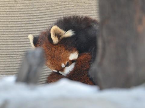 懐かしい写真・・・1月10日 旭山動物園 レッサーパンダ 両親たち