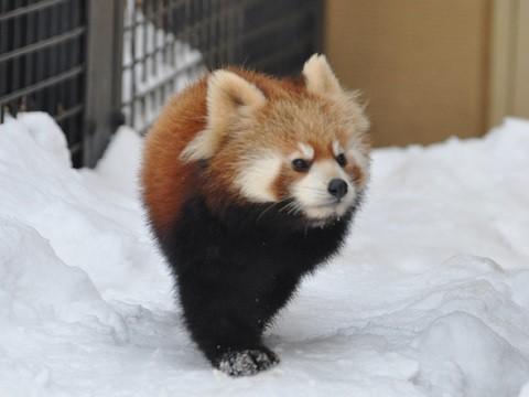 懐かし写真・・・1月10日 旭山動物園 レッサーパンダ 子ども達