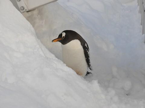 懐かしい写真・・・1月10日 旭山動物園 あざらし館2階から見た散歩