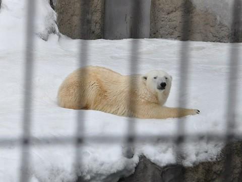 懐かしい写真・・・2月14日 旭山動物園 ホッキョクグマ