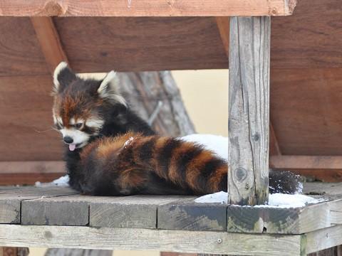 懐かしい写真・・・2月14日 旭山動物園 レッサーパンダ 両親たち