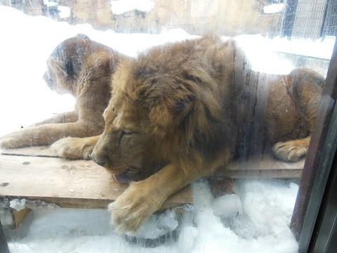 懐かしい写真・・・2月14日 旭山動物園 ライオン夫婦