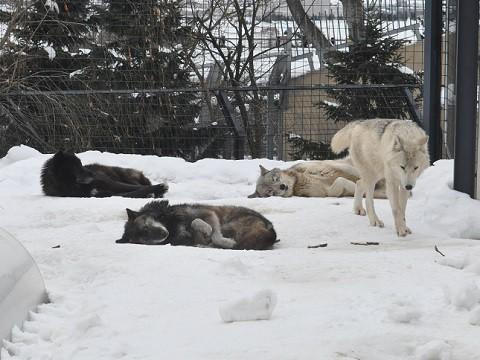 懐かしい写真・・・2月14日 旭山動物園 シンリンオオカミ