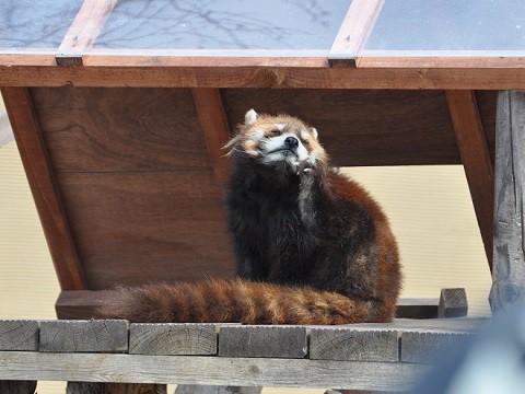 懐かしい写真・・・4月2日 旭山動物園 レッサーパンダ