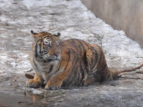 懐かしい写真・・・4月2日 旭山動物園 アムールトラ