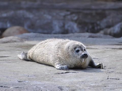 懐かしい写真・・・4月2日 旭山動物園 ゴマフアザラシの赤ちゃん