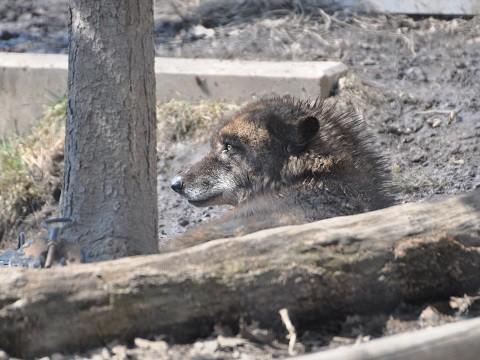 懐かしい写真・・・4月2日 旭山動物園 シンリンオオカミ