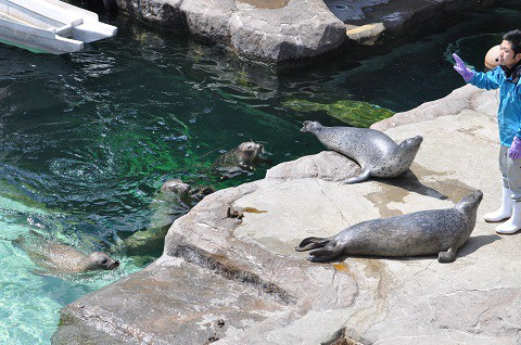 懐かしい写真・・・4月29日 旭山動物園 ゴマフアザラシ