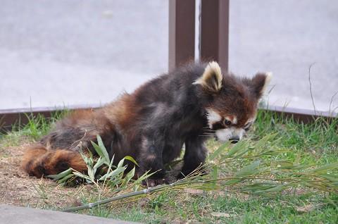 懐かしい写真・・・4月29日 旭山動物園 レッサーパンダの大人たち