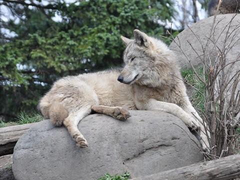 懐かしい写真・・・4月29日 旭山動物園 シンリンオオカミ