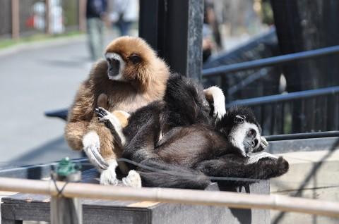 懐かしい写真・・・4月29日 旭山動物園 シロテテナガザル夫婦