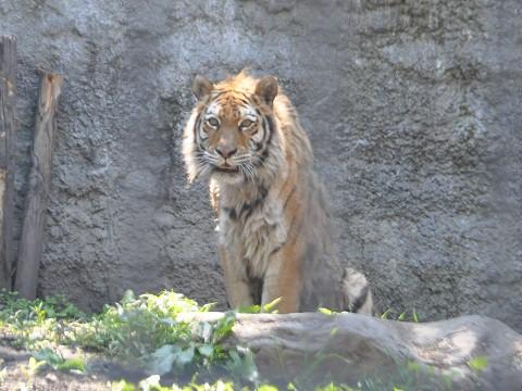 懐かしい写真・・・6月6日 旭山動物園 アムールトラ のんとキリル