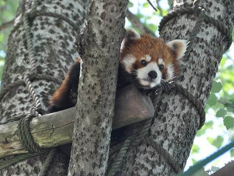 懐かしい写真・・・6月6日 旭山動物園 レッサーパンダ チャーミン親子