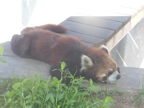 懐かしい写真・・・6月6日 旭山動物園 レッサーパンダ 栃と友友親子