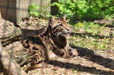 懐かしい写真・・・6月6日 旭山動物園 ウンピョウ
