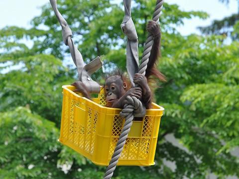 懐かしい写真・・・旭山動物園 オランウータン母子とシロテテナガザル一家