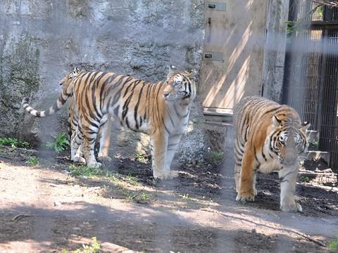 懐かしい写真・・・6月6日 旭山動物園 アムールトラ 親子