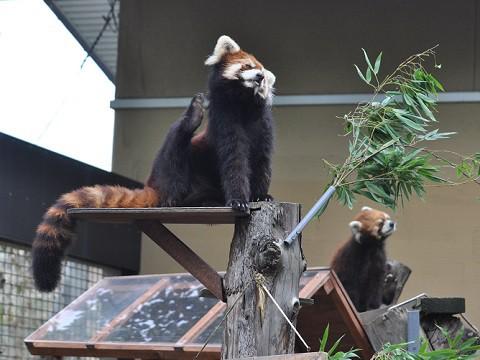 懐かしい写真・・・8月1日 旭山動物園 レッサーパンダ