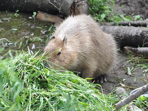 懐かしい写真・・・8月1日 旭山動物園 カピバラ姉妹