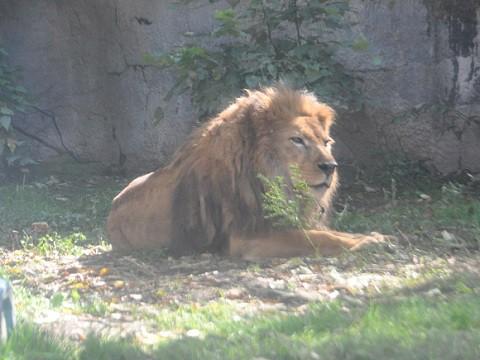懐かしい写真・・・9月26日 旭山動物園 最後に会ったライオン ライラ