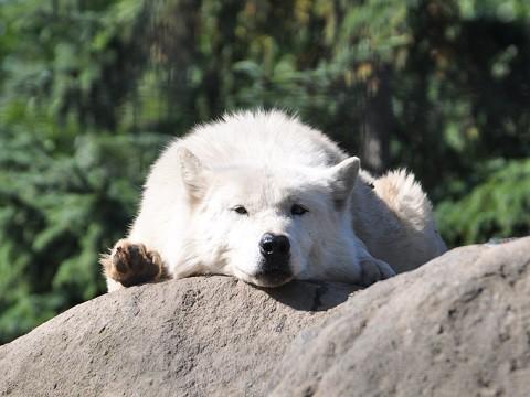 懐かしい写真・・・2017年9月26日 旭山動物園 シンリンオオカミたち