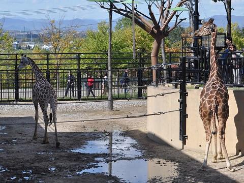 懐かしい写真・・・2017年9月26日 旭山動物園 きりん舎・かば館の動物