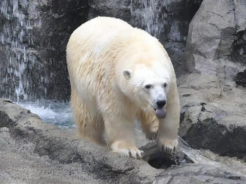 懐かしい写真・・・2017年11月3日 旭山動物園 ホッキョクグマ