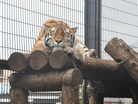 懐かしい写真・・・2017年11月3日 旭山動物園 アムールトラ