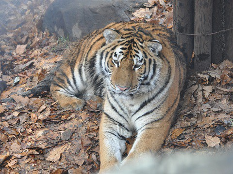 懐かしい写真・・・2017年11月15日 旭山動物園 アムールトラ