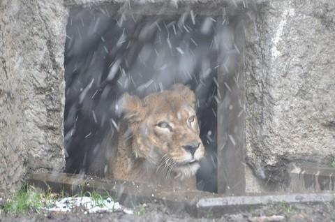 懐かしい写真・・・2017年11月15日 旭山動物園 レイラ