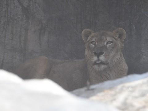 訃報 2018年4月10日 旭山動物園 ライオン レイラ
