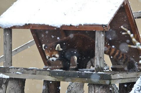 懐かしい写真・・・2017年11月15日 旭山動物園 レッサーパンダ1