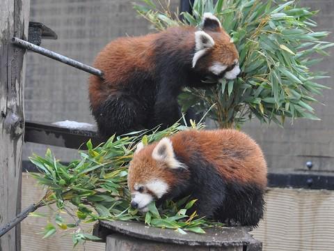 懐かしい写真・・・2017年11月15日 旭山動物園 レッサーパンダ2