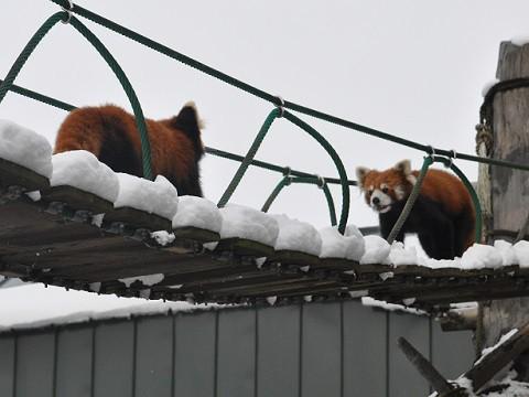 懐かしい写真・・・旭山動物園 レッサーパンダ チャーミンと縞縞以外