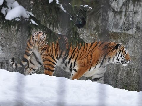 懐かしい写真・・・1月30日 旭山動物園 アムールトラ キリルとソーン