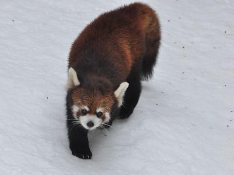 懐かしい写真・・・2月10日 雪あかりの旭山動物園 レッサーパンダ