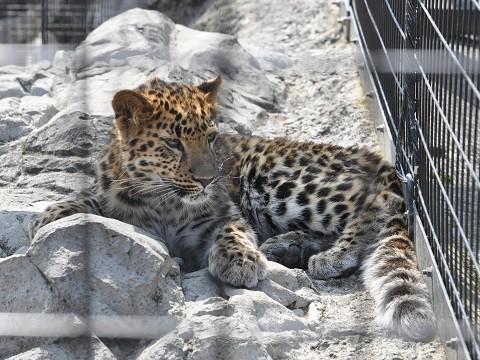 ちょっとだけ懐かしい写真・・・3月27日 旭山動物園 アムールヒョウ