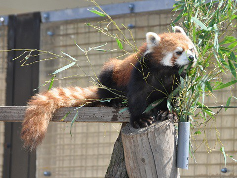 ちょっとだけ懐かしい写真・・・3月27日 旭山動物園 レッサーパンダ1