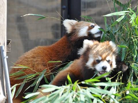 ちょっとだけ懐かしい写真・・・3月27日 旭山動物園 レッサーパンダ2