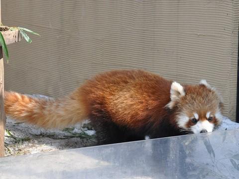 ちょっとだけ懐かしい写真・・・3月27日 旭山動物園 レッサーパンダ3