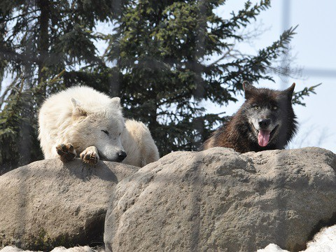 ちょっとだけ懐かしい写真・・・3月27日 旭山動物園 シンリンオオカミ