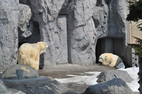 ちょっと懐かしい写真・・・3月27日 旭山動物園 ホッキョクグマ